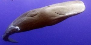 spermwhale pottwal